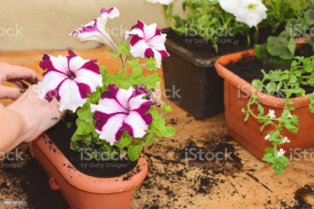Gepflanzte Blumen Bacopa – Foto