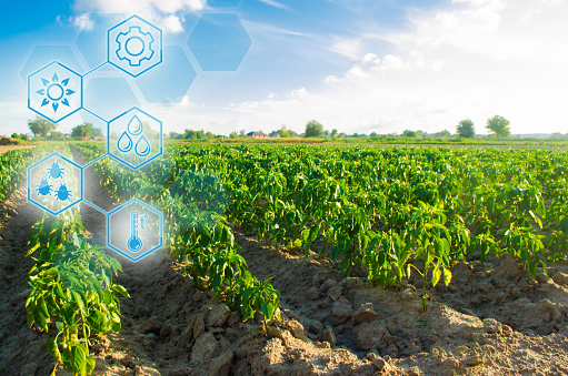 1094263056 istock photo Planted on the field in a bright sunny day. Scientific work and development of new methods and selection of varieties, genetic engineering. Agriculture, agro-industry. Innovations and technologies. 1127859830