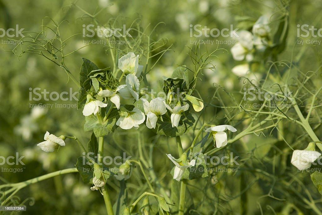 planted peas royalty-free stock photo