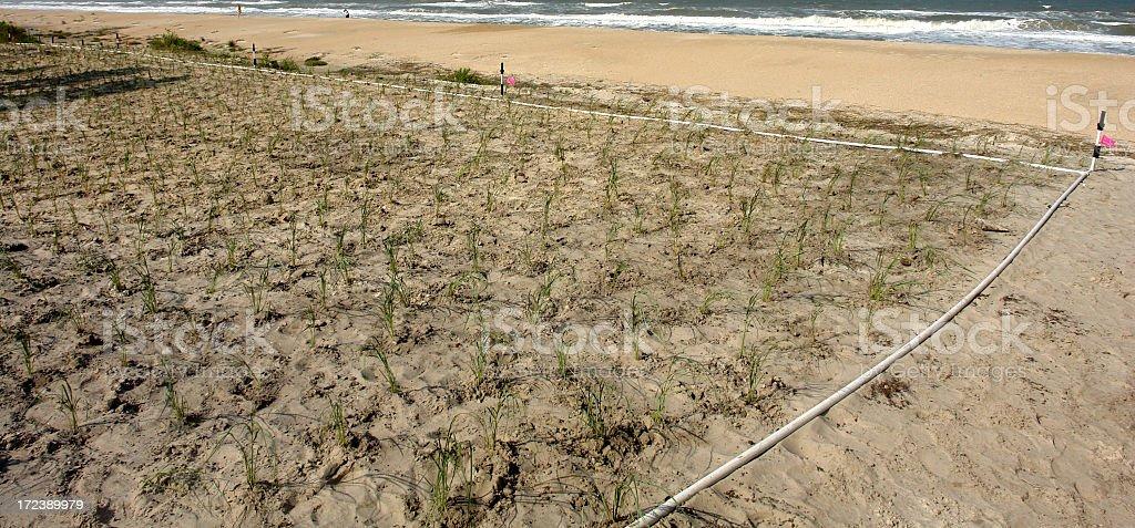 Planted Sea Oats royalty-free stock photo