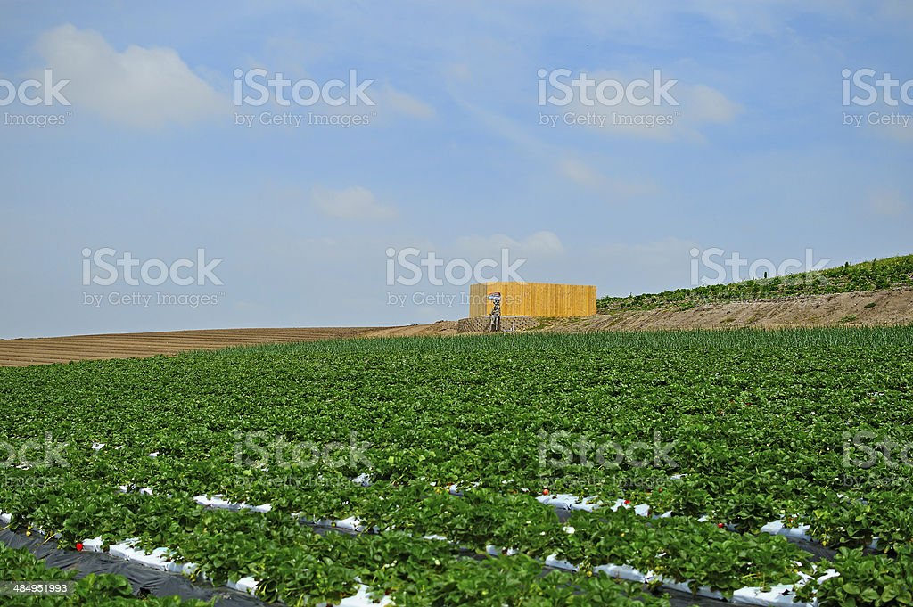 Planted Strawberries royalty-free stock photo