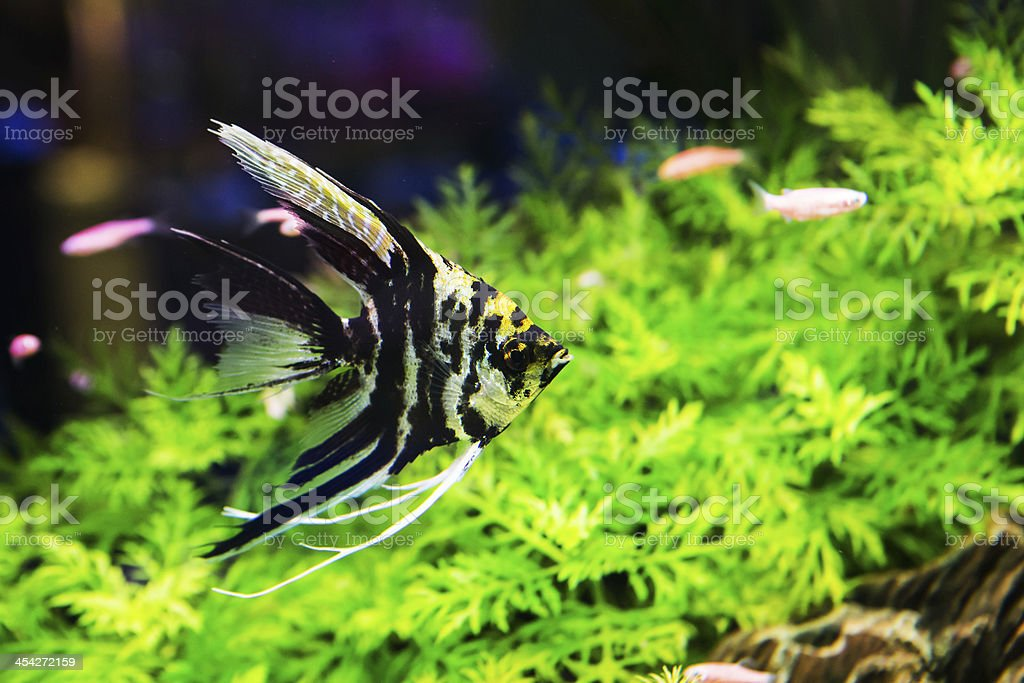 planted tropical freshwater aquarium with fish royalty-free stock photo