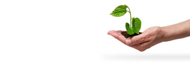 Plantada de plantas jóvenes de cultivo, plántulas en un invernadero. Nuevo concepto de vida. - foto de stock