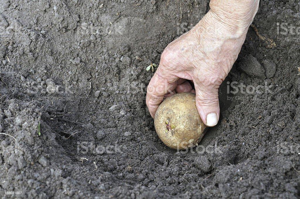 planting a germinated potato seedling royalty-free stock photo