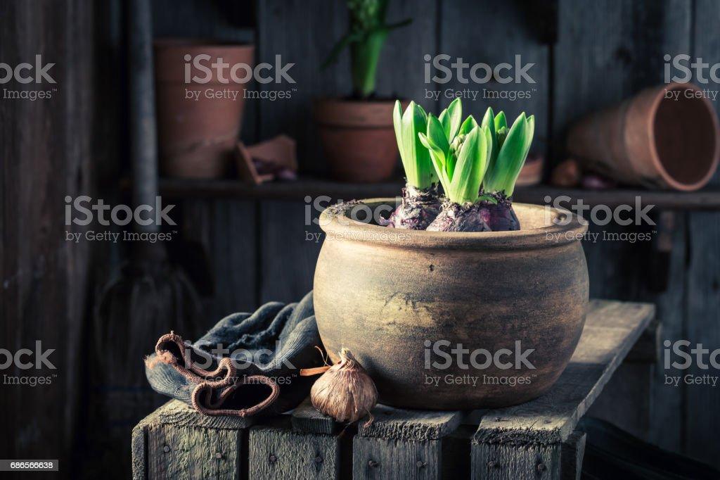 Planting a green crocus and old red clay pots zbiór zdjęć royalty-free