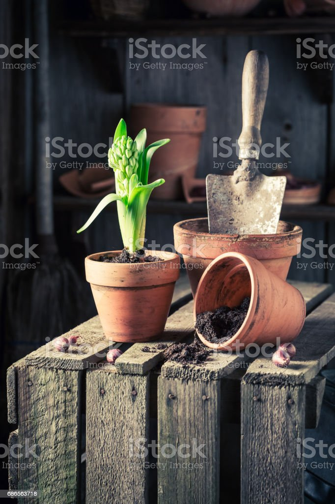 Planting a green crocus on old wooden box royalty-free stock photo