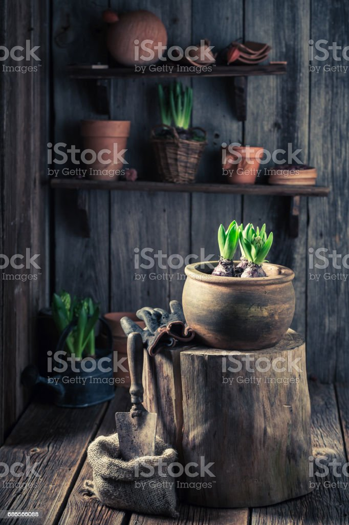 Planting a green crocus to dark soil in wooden cottage stock photo