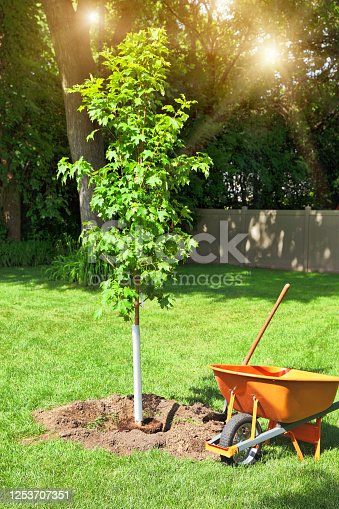 Planting a maple tree with hole and shovel