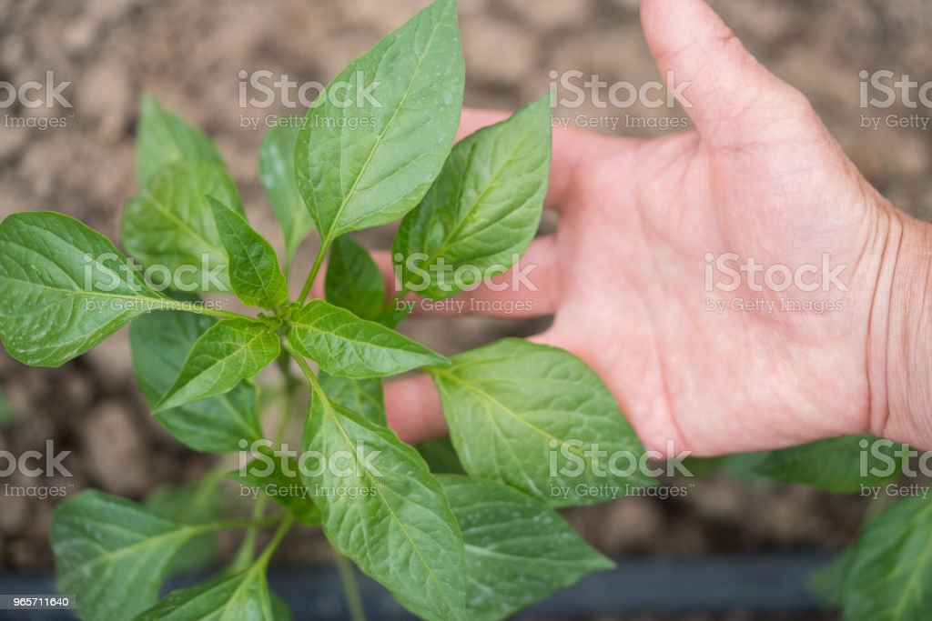 Planting a pepper seedling - Royalty-free Above Stock Photo