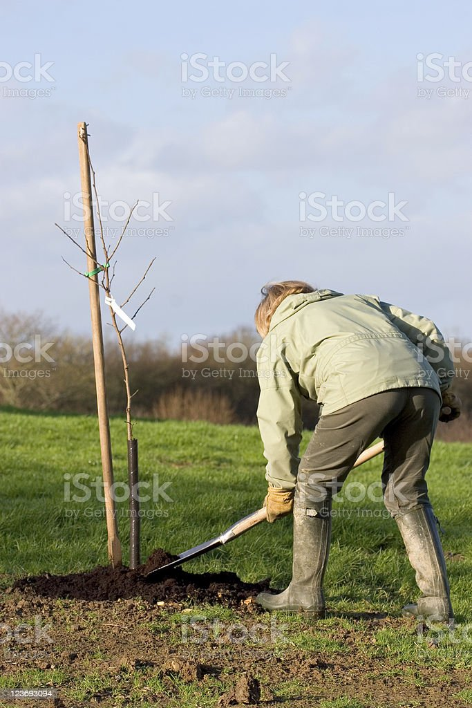 Planting A Sapling royalty-free stock photo