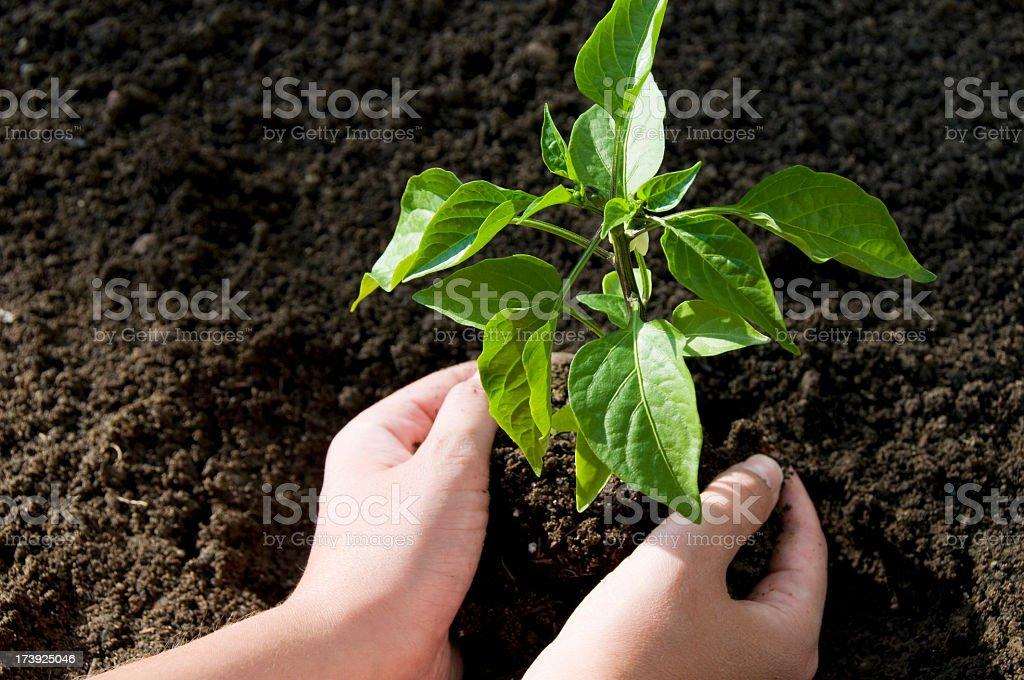 Planting a seedling in dark brown dirt royalty-free stock photo