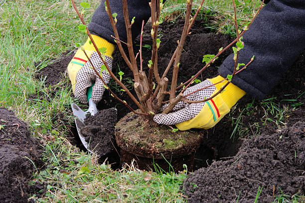 Plantando un shrub - foto de stock