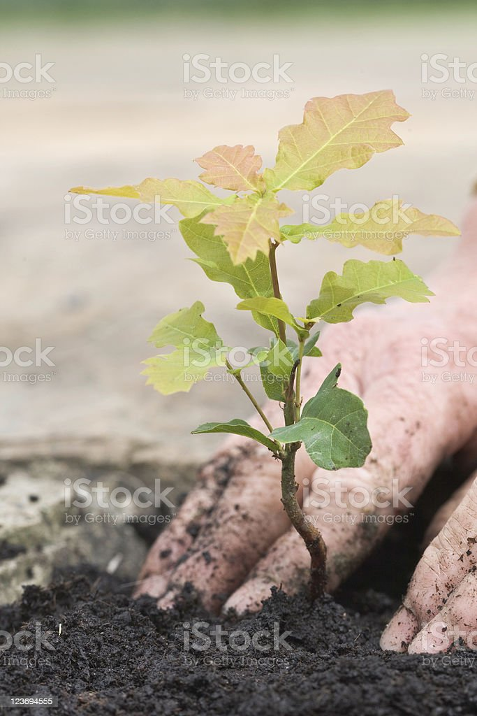 Planting A Tiny Oak Sapling royalty-free stock photo