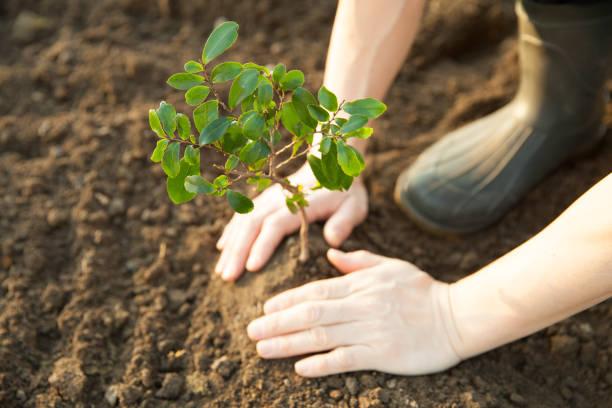 het planten van een jonge boom - herbebossing stockfoto's en -beelden