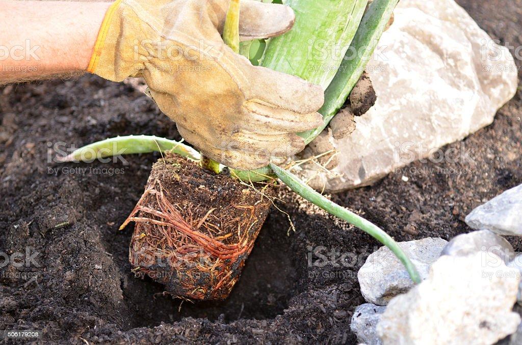 Planter l'aloe vera - Photo