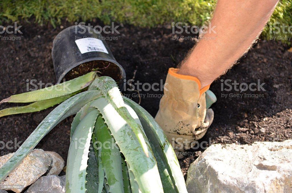 Planter une plante à l'aloe vera - Photo