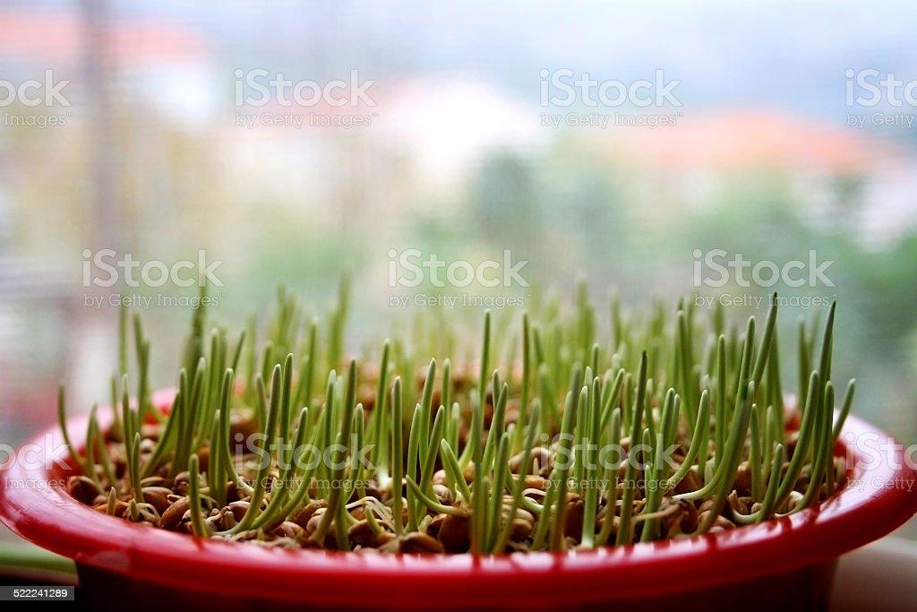 Pflanzen Weihnachten Weizen – Foto