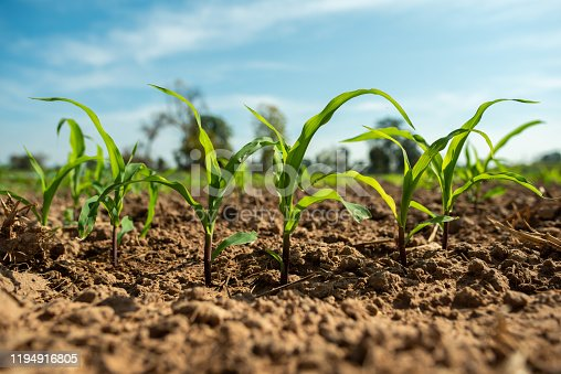 Planting corn seedlings on the ground and growing / Economic plants