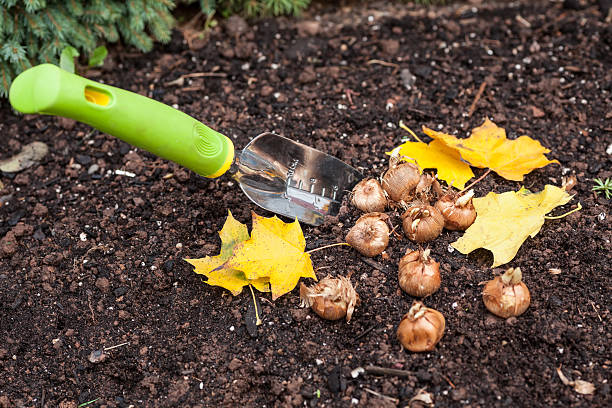 Planting Crocus Crocus bulbs ready to plant in the fall garden. plant bulb stock pictures, royalty-free photos & images