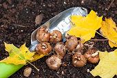 Crocus bulbs ready to plant in the fall garden.