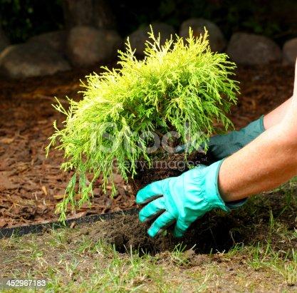 planting cypress