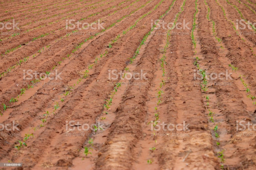 Planting field crops in rows looking from above