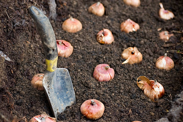 Planting Flower Bulbs Flower bulbs being planted in good soil. plant bulb stock pictures, royalty-free photos & images