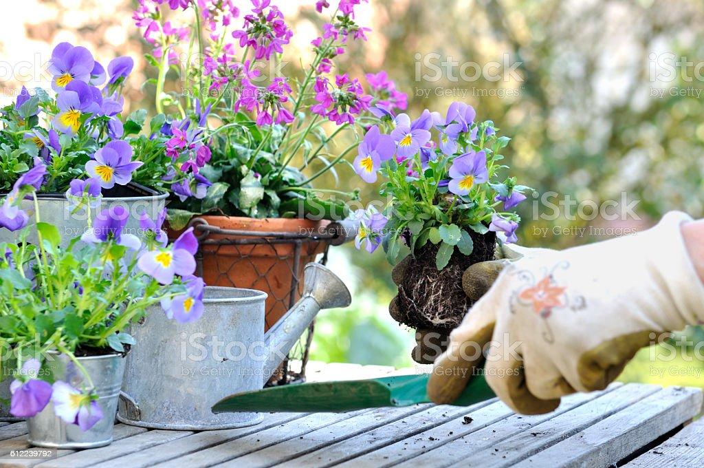 planting flowers in garden stock photo