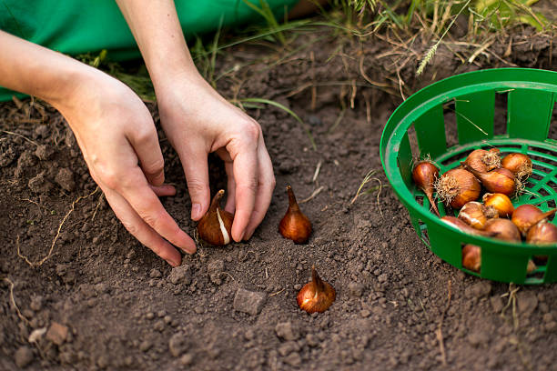 planting flowers Planting flower bulbs (tulip) in the flower-garden in autumn plant bulb stock pictures, royalty-free photos & images