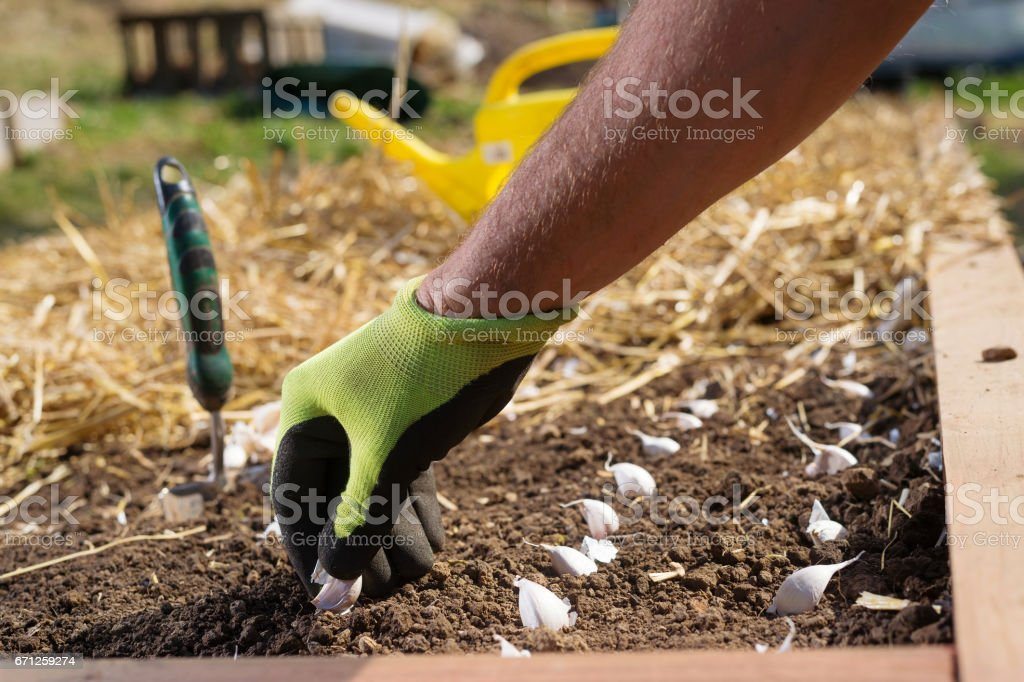 Planting garlic bulbs stock photo