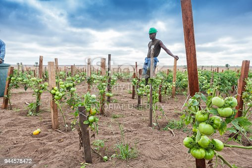 CABINDA/ANGOLA - 09JUN2010 - Planting green tomatoes with farmer in background.