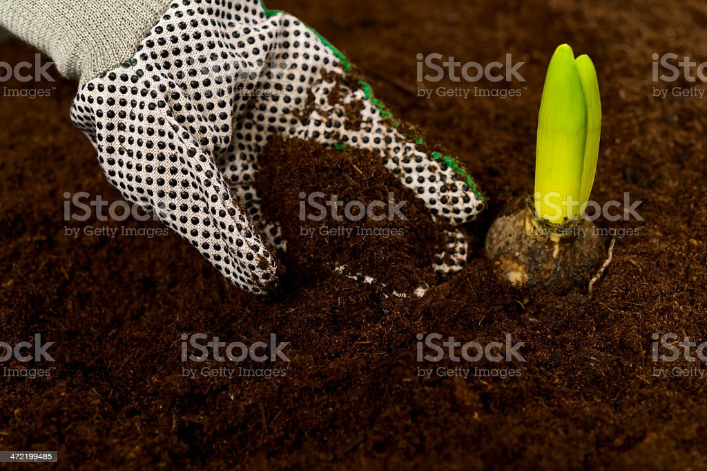 planting hyacinth bulb royalty-free stock photo