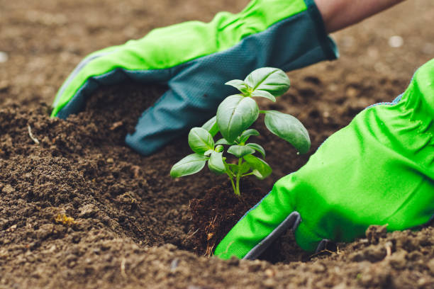 Planting in the garden, hands in green gloves planting basil into flowerbed Gardening in herbal garden. basil plant stock pictures, royalty-free photos & images