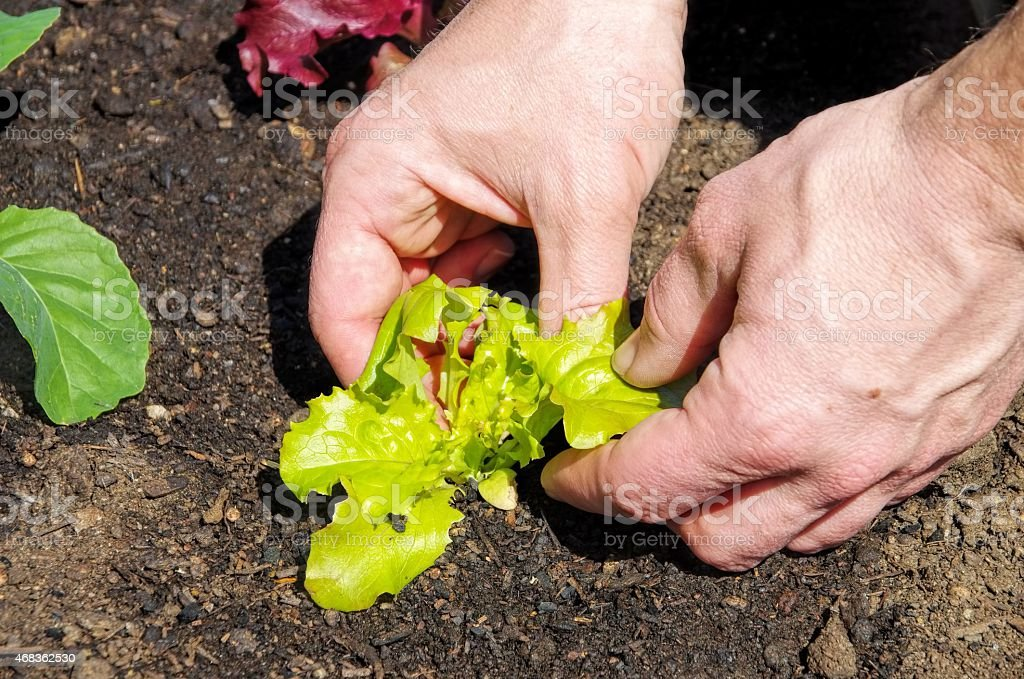 planting leaf lettuce royalty-free stock photo