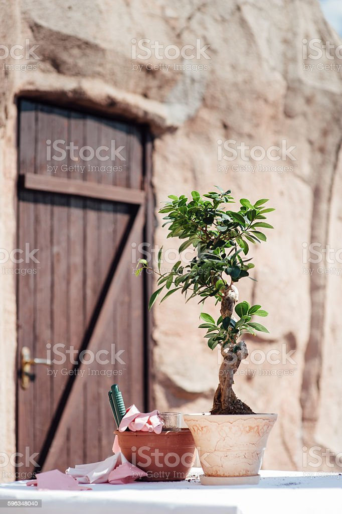 Planting little tree into a small pot royalty-free stock photo