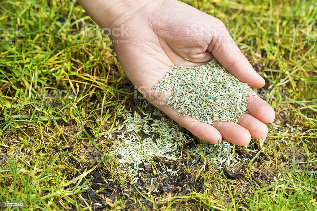 Planting new grass seed to bare spot on yard stock photo