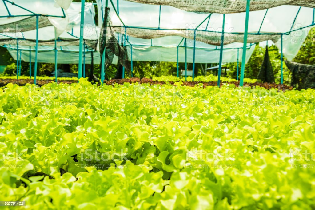 Planting non-toxic Organic vegetables Salad Dressings beautiful Green leafy are grown in the garden with a natural way of safe stock photo