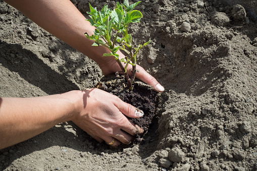 912882270 istock photo Planting of plants in the soil 688963924