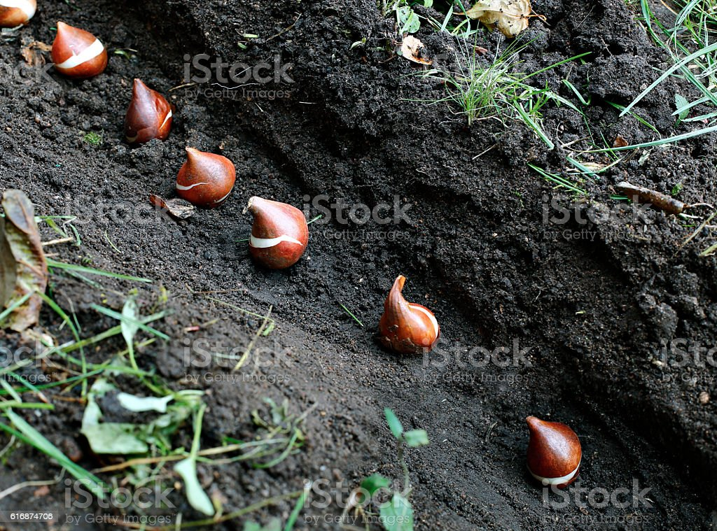 Planting of tulip bulbs in the soil stock photo