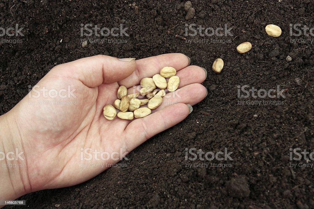 Planting of vegetable seeds in prepared soil stock photo