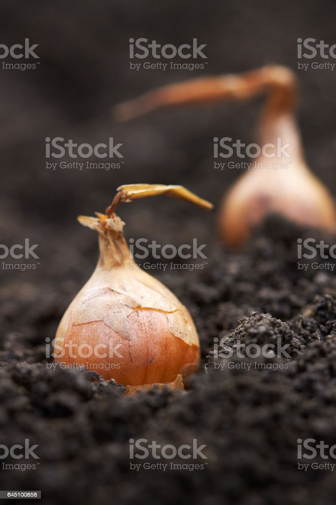 Planting onions in the garden stock photo