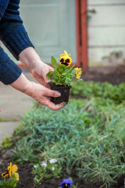 Planting pansies stock photo