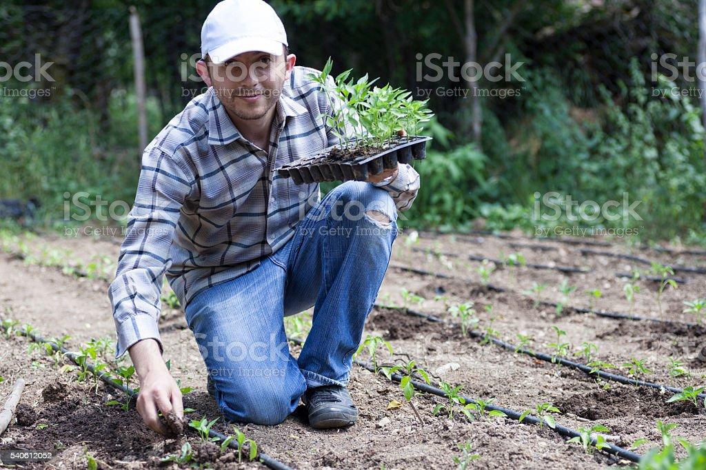 Planting pepper stock photo