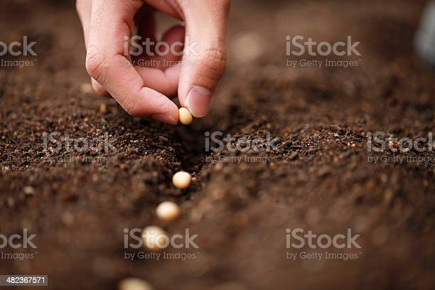 I sow the seeds of soybean in the field of garden,
