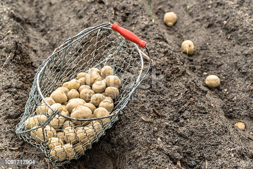 Planting potato on farm. Basket with seeds of potatoes on field, organic farming concept.
