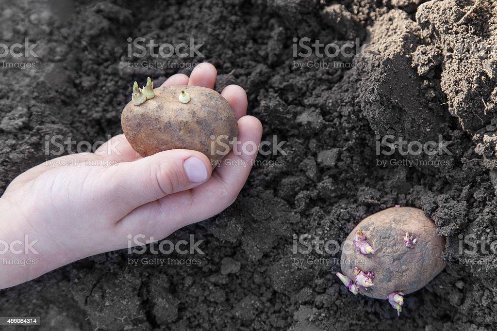 Planting potato tubers into soil stock photo