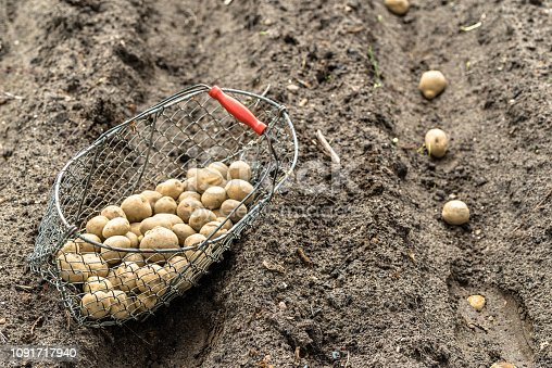 Planting potatoes on farm. Basket with potatoes on field, organic farming concept.