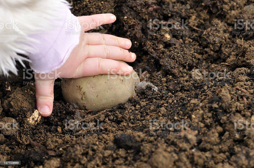 Planting potatos royalty-free stock photo