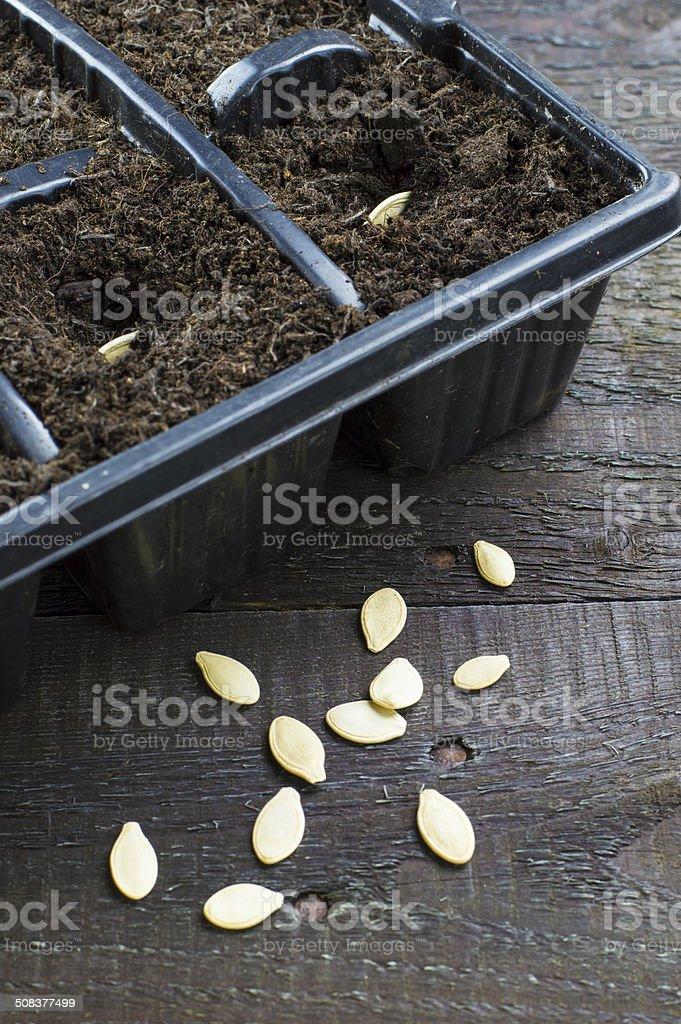 Planting Pumpkin Seeds stock photo