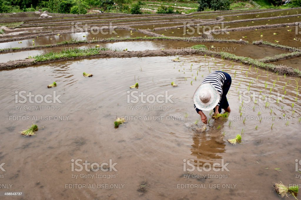 Planting Rice royalty-free stock photo